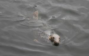 Robbe im Hafen von Stornoway